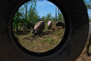 schweine in freilandhaltung